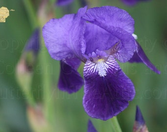 Macro Photograph, Close Up a Brilliant Ultra Violet and Indigo Iris Blossom in Spring Garden, Natural Home Decorating