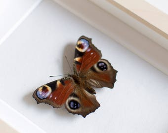 Real framed butterfly: Inachis io // peacock butterfly