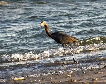 Aigrette gris au coucher de soleil Image numérique Télécharger Nature photographie - licence numérique inclus