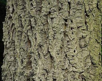 50+ Amur Cork Tree Seeds (Phellodendron amurense) - Huang Bai