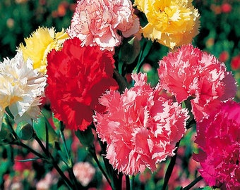 Carnation mix - 40 seeds - Dianthus Caryophyllus