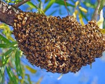 Honeybee Swarm lure Recipe, homemade recipe for trapping honeybees, free bees