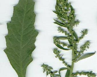 300 EPAZOTE (Mexican Tea) Chenopodium Ambrosioides Herb Flower Seeds