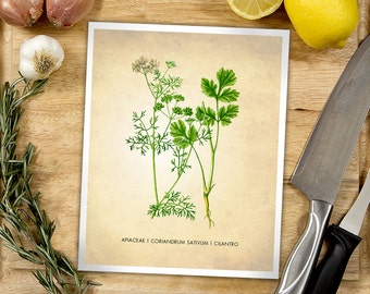 Cilantro Herb Art Print, Herbs Art Print, Cilantro Poster, Cooking Herb Print, Cilantro Art Print, Cilantro Kitchen Art Print, Kitchen Decor