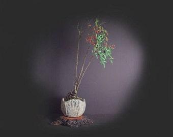 Heavenly bamboo (Nandina), Bamboo bonsai collection from LiveBonsaiTree