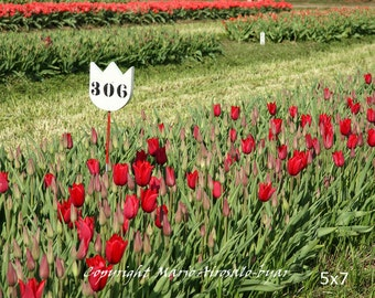 Row of Red Tulips with Sign, Sunlight Flowers, Tulip Photo, Nature Photography, Veldheer Tulip Gardens, Holland Michigan, Home Decor, Green