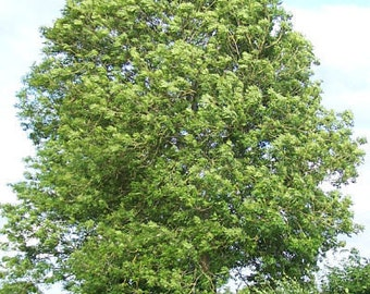 50 Common Ash Tree Seeds, Fraxinus excelsior