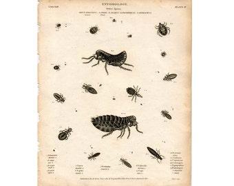 1814 LOUSE & FLEA ENGRAVING original antique insect bug print