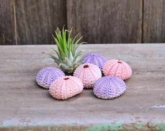 Set of Six Natural Coastal Decorative Pink & Purple Sea Urchin