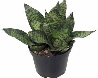 "Hahni Birdsnest Snake Plant - Sanseveria - Almost Impossible to Kill! - 6"" Pot"