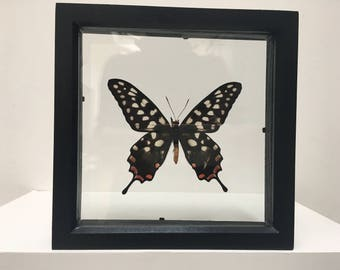Beautiful Pharmacophagus Antenor Butterfly/Insect/Taxidermy/Lepidoptera.