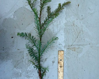 "Giant Coast Redwood Seedling - 2 Years Old and 18-24"" Tall. Very Fast Growers, Up To 5 Feet Per Year! Sequoia sempervirens, Live Plant"