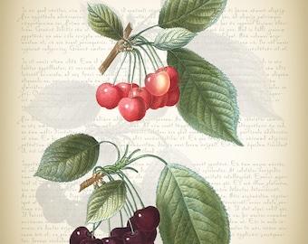 Botanical Art Print - Vintage Botanical Print - Cerasus Illustration Print - Redoute' Botanical Print - Cherry Art Print - Vintage Cherry