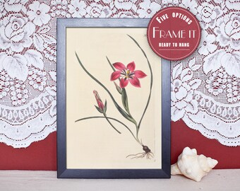 "Vintage illustration of Soft- Blush Trichonemia - framed fine art print, flower art, home decor 8""x10"" ; 11""x14"", FREE SHIPPING - 120"