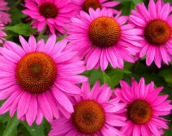 Purple Emperor Coneflower/ Echinacea in 4 inch pots (one plant per pot) Deer Resistant!