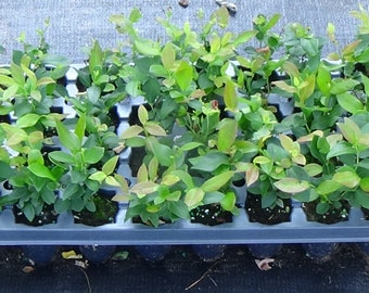 Ten (10) Blueberry Bush Plants 25.00 WITH FREE SHIPPING