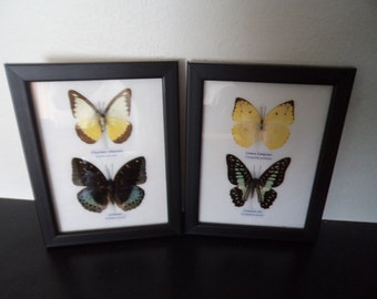 Wall Display Real Butterflies Framed Display Butterfly Taxidermy Lepidoptera Entomology Free Shipping !!