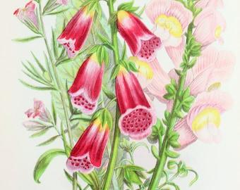 Anne Pratt Antique Botanical  Print - Foxgloves, Lesser & Great Snap Dragon, Wild Flowers (159)