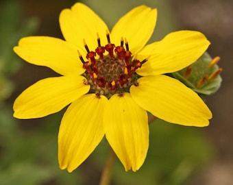 """Night Blooming Edible Chocolate Flower - Berlandiera - Very Fragrant - 4"""" Pot"""