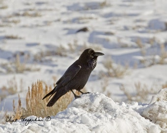 Raven, as seen in Yellowstone, Original Fine Art Photgraphy