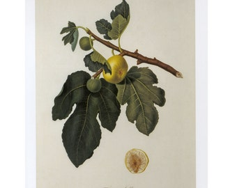 Fig Tree Print Botanical Book Plate SALE~~Buy 3, get 1 Free Book Plates