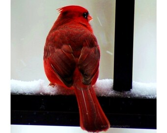 Christmas Cardinal Holiday Decor Photography Red Black Winter Decoration Cardinal 5x5 Inch Fine Art Photography Print Cardinal In The Snow