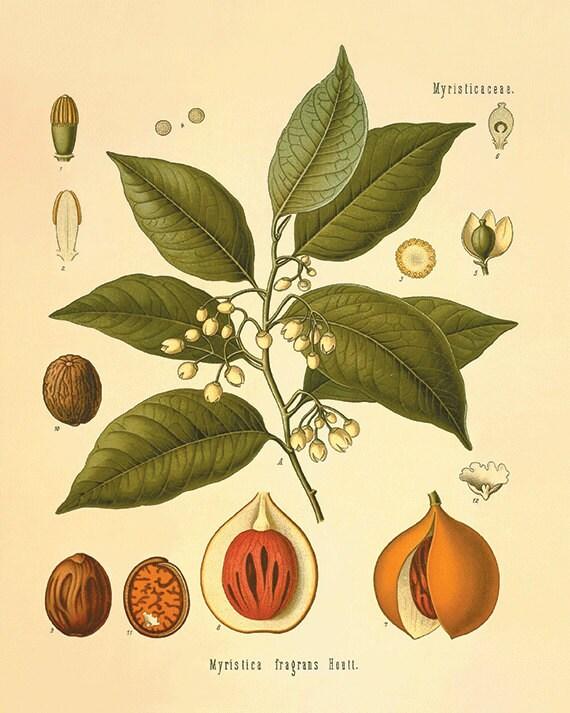 Nutmeg art botanical art prints kitchen Garden Wall Art