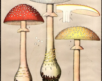 1800s Original Chromolithograph Color Plate POISONOUS FUNGI MUSHROOMS Amanita Muscaria L. Fly Amanita 1895 C. H. Peck & C. Fausel