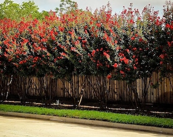 Red Rocket Crape Myrtle 3 Gallon