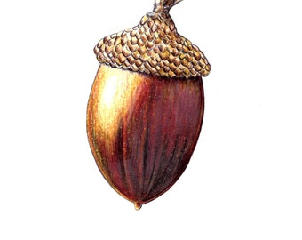 """Acorn art print of an original drawing available 5x7"""" or 8x10"""""""