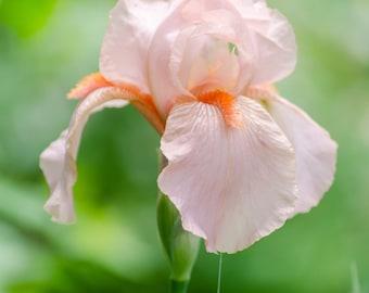 Pink Iris Flower Portrait Photograph Digital Download Wall Art