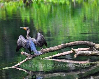 Silver River Cormorant