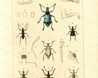 Original Antique Hand Colored Insects  engraving from 1829 - Insects - Beetles