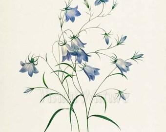 Bellflowers Flower Art Print, Botanical Art Print, Flower Wall Art, Flower Print, Floral Print, Redoute Art, purple, blue, Campanula