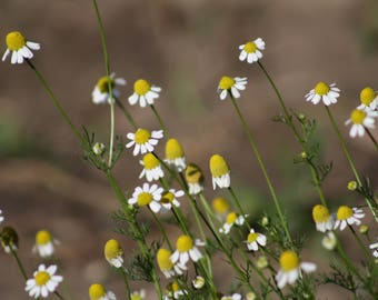 German Chamomile Seeds, Aromatic Herbs, Herbs For Tea, Medicinal Herbs, Herbs that Calm, Calming Herbs, Herbs for Anxiety