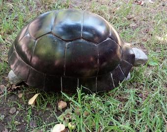 Black Marble Turtle
