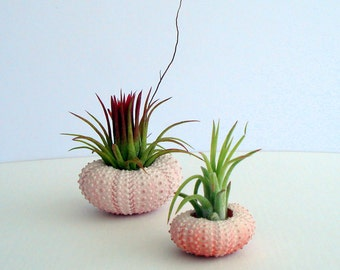 Air Plant Planter in a Pink Sea Urchin SINGLE