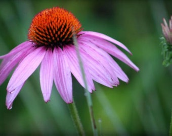 "Flower photograph, pink, green, wall art -- ""Misty Morning"", an 8x12-inch fine art photograph"
