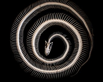 Photographic Fine Art Print of a real Articulated Python skeleton - Various sizes and canvas available