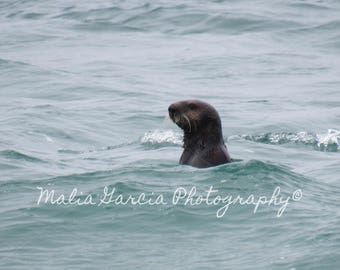 Sea Otter in the Monterey Bay