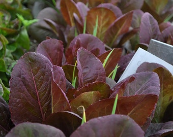 Rouge d'Hiver Romaine Lettuce Heirloom Seeds - Non-GMO, Open Pollinated, Untreated