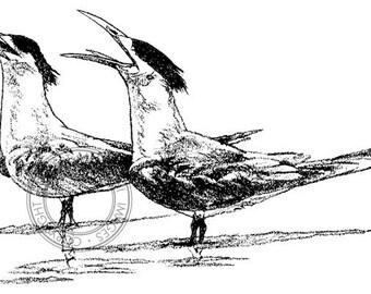 Crested Terns pencil drawing - bird art, wildlife art - nature print of original artwork
