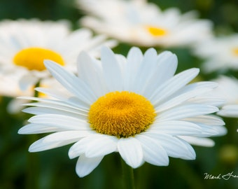 Daisies - Fine art landscape photograph of some daisies at The Coastal Maine Botanical Gardens - July 19, 2017