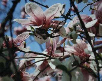 Spring, Blooming, Pink, Magnolia, Tree, Jeffersonville, Indiana, Fine Art, Photograph, 8 x 10, Print, Glossy, OOAK