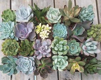 "15 assorted 2"" succulents"