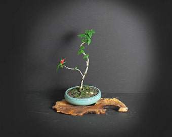Turks hat hibiscus pre bonsai tree, Blooming bonsai collection from LiveBonsaiTree