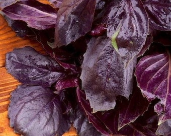 Dark Opal Basil  20 Seeds an attractive plant with dark purple crinkled foliage and pink flowers