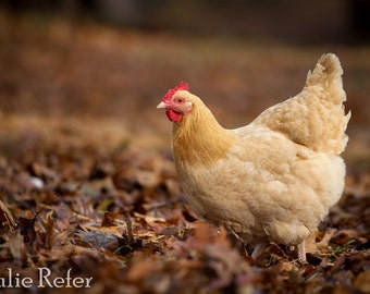 Chicken Photo, Farm Animal, Country Life