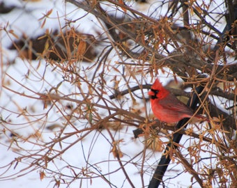 Male Cardinal on a Snowy Day