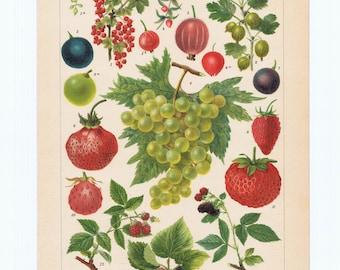 antique print strawberry 1900